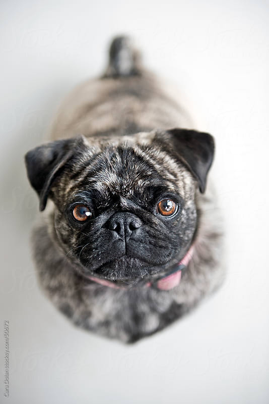 Brindle pug dog looks up at camera by Cara Dolan for Stocksy United
