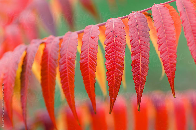 red sumac leaves against a green background. by Deirdre Malfatto for Stocksy United
