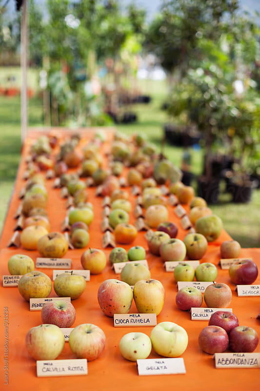 Italy, ancient fruit fair: table with many different kinds of ancient cultivar of apples by Laura Stolfi for Stocksy United