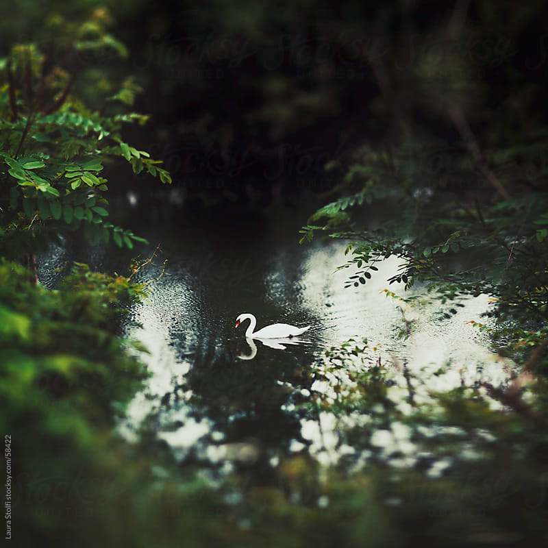 Adult white swan swimming in placid river water seen through trees and shrubs by Laura Stolfi for Stocksy United