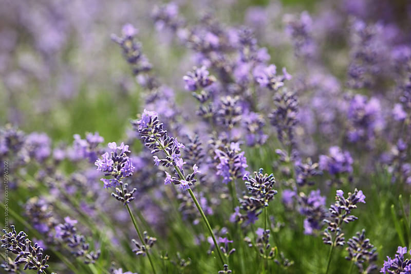 Close up of fragrant lavender flowers by Sandra Cunningham for Stocksy United
