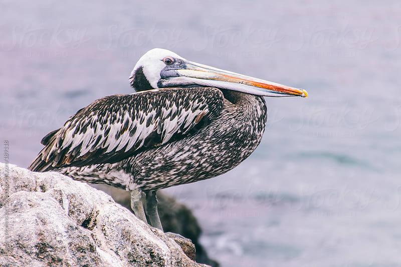 Pelican on the coast by Alejandro Moreno de Carlos for Stocksy United