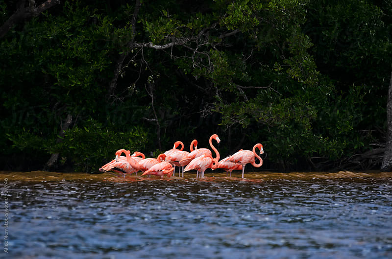 Group of pink flamingos standing in water in front of mangrove trees by Alice Nerr for Stocksy United