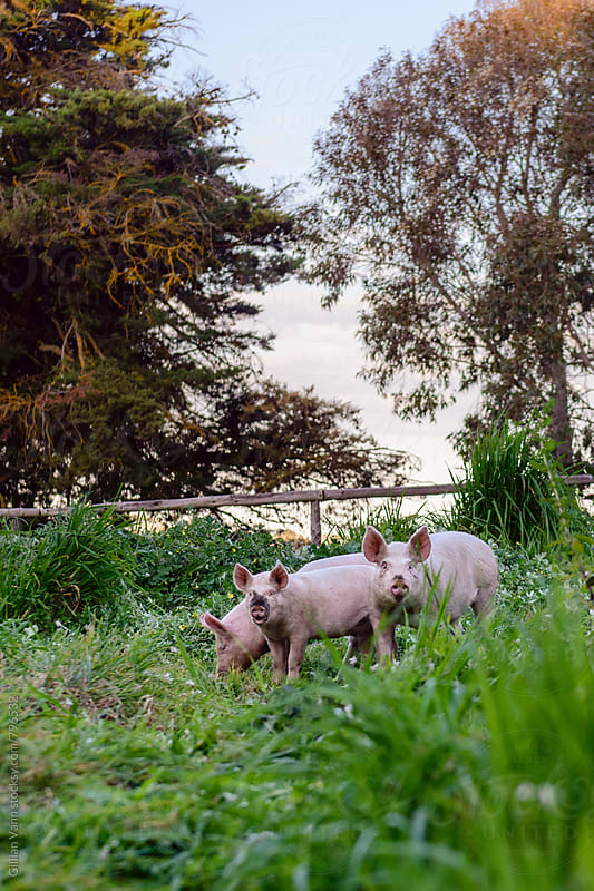 free range pigs on a farm by Gillian Vann for Stocksy United