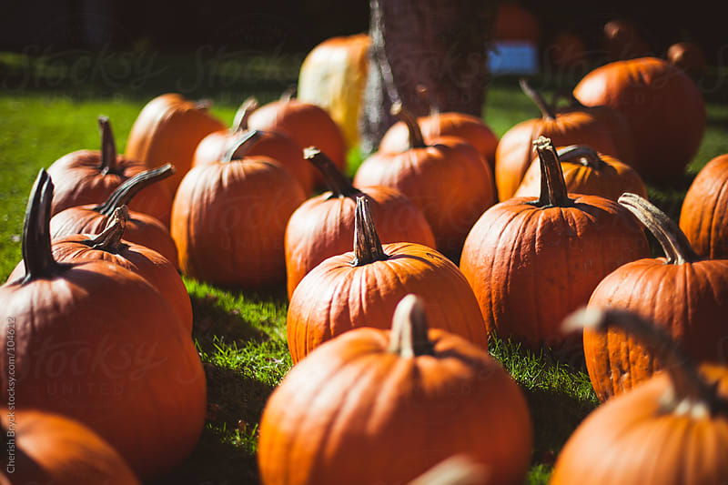Pumpkins at the pumpkin patch. by Cherish Bryck for Stocksy United