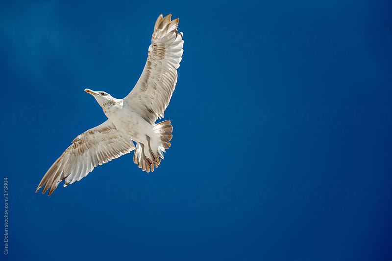Gull flying across blue sky by Cara Dolan for Stocksy United