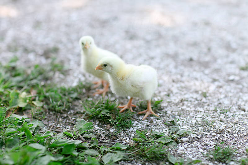 pair of baby chicks by Jen Brister for Stocksy United
