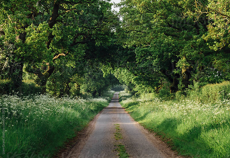 Cow Parsley growing beside a tree lined rural road. Norfolk, UK. by Liam Grant for Stocksy United