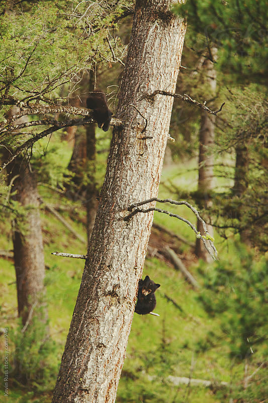 Bear Cubs in Tree by Kevin Russ for Stocksy United