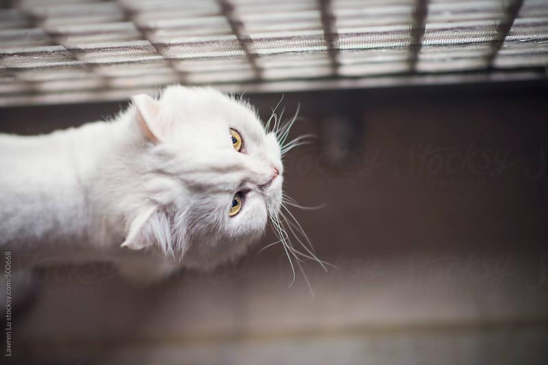 Cute white cat walking along grid window by Lawren Lu for Stocksy United