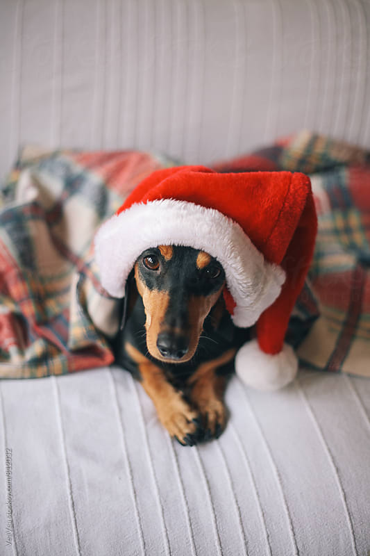Adorable dachshund wearing Santa Claus hat by Marija Mandic for Stocksy United