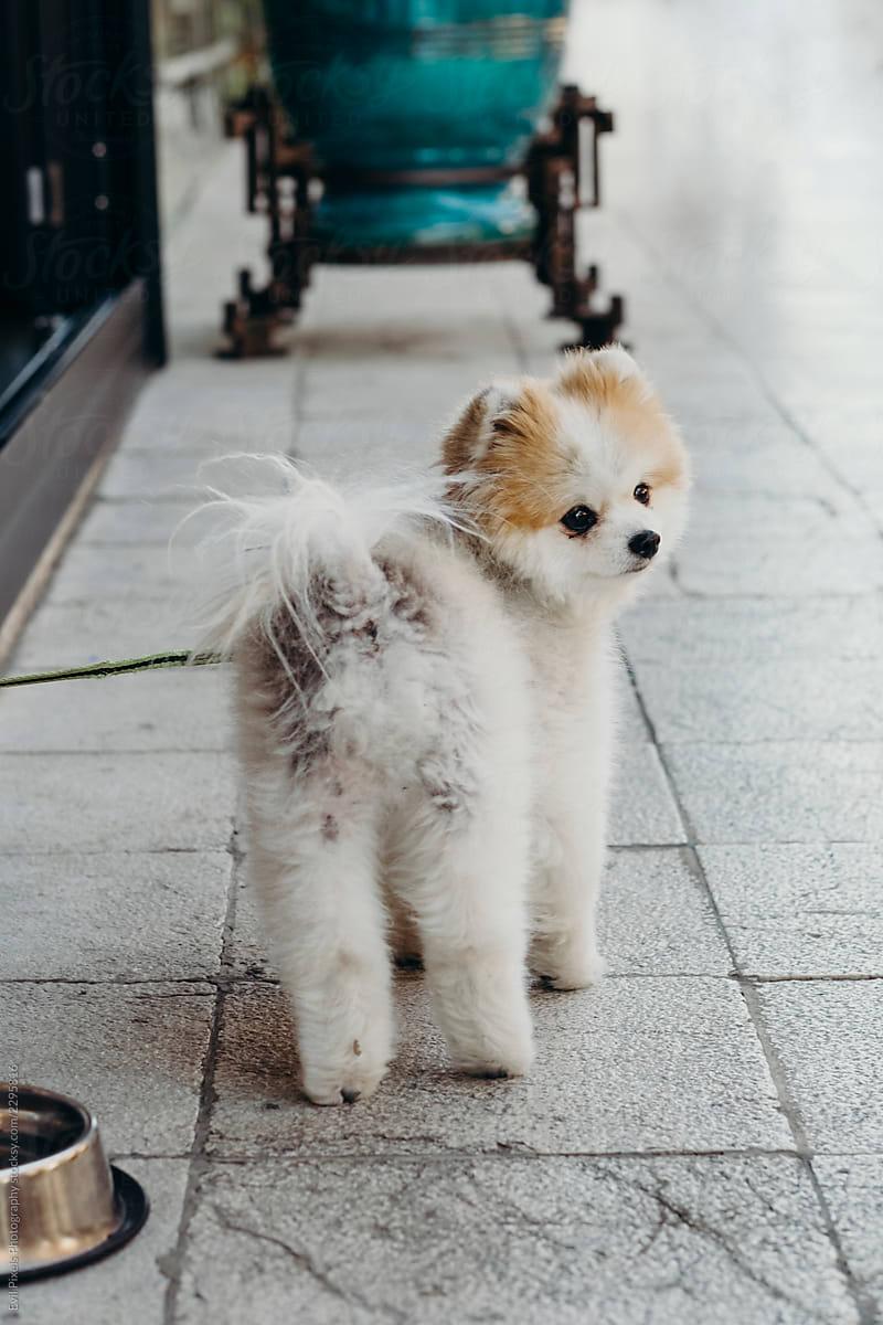 Cute Pomeranian Dog On The Street Stocksy United