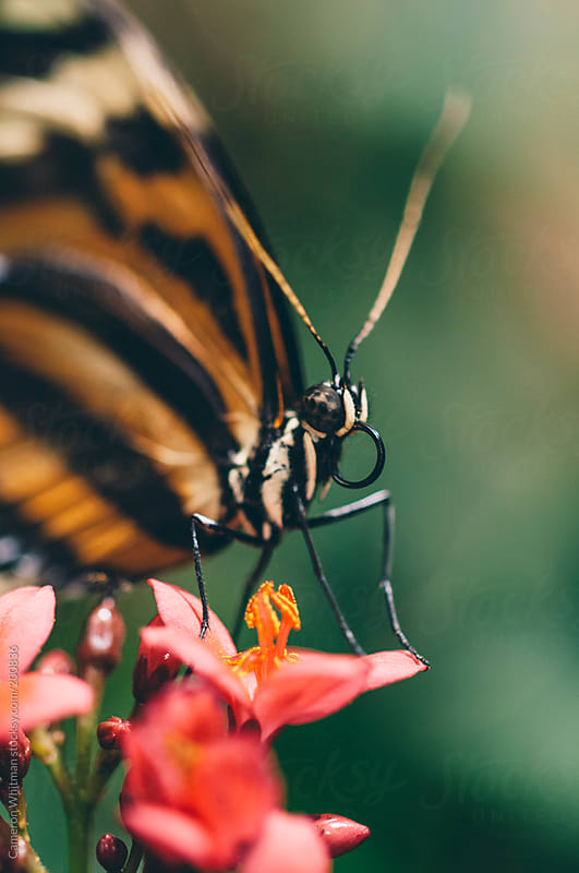Butterfly macro  by Cameron Whitman for Stocksy United