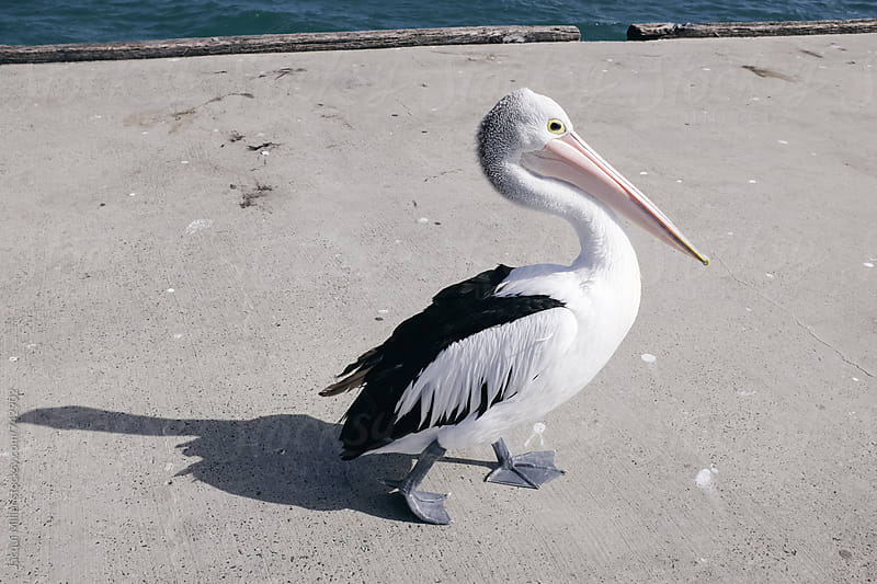 White Pelican  by Jacqui Miller for Stocksy United