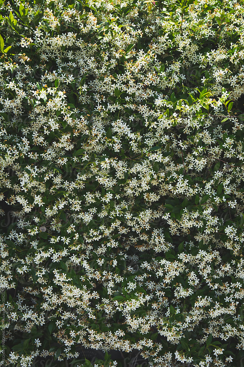 Wall of tiny white flowers in bloom stocksy united wall of tiny white flowers in bloom by meghan pinsonneault for stocksy united mightylinksfo