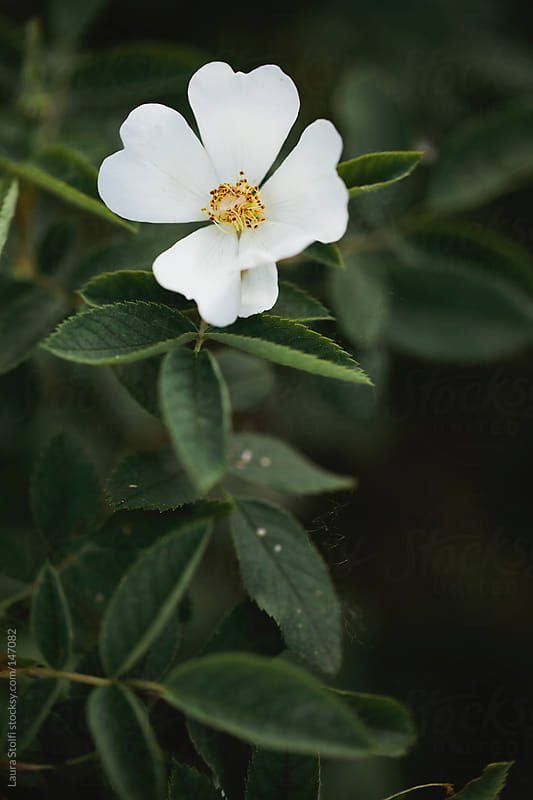 Opened white dog rose on branch by Laura Stolfi for Stocksy United