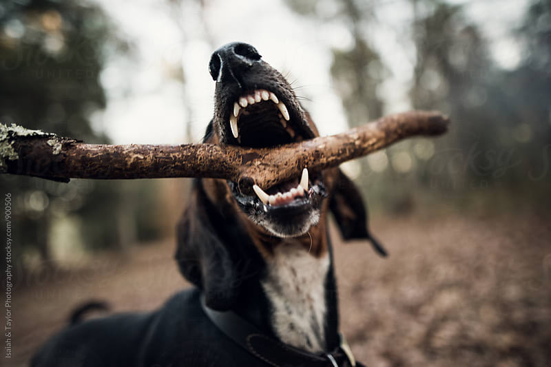 Dog playing with stick by Isaiah & Taylor Photography for Stocksy United