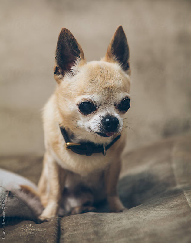 Small Chihuahua by kkgas for Stocksy United