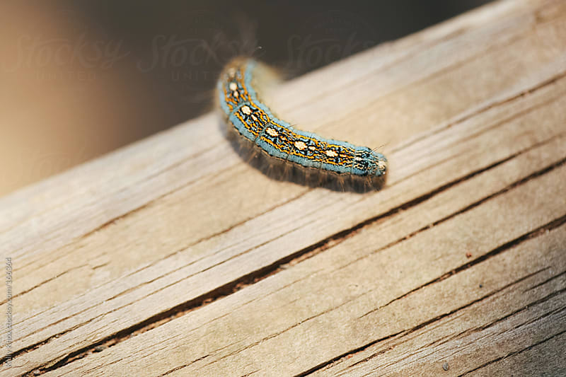 fuzzy, little caterpillar crawling across wood by Kelly Knox for Stocksy United