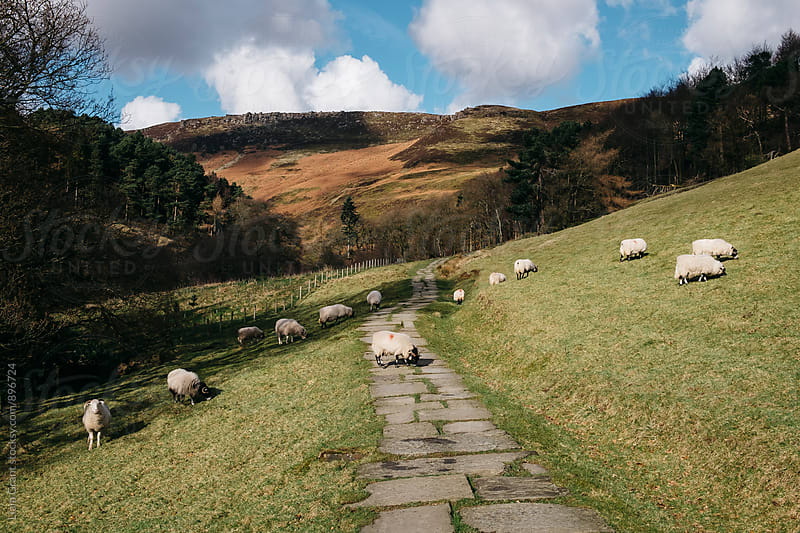 Stone footpath and grazing sheep. Edale, Derbyshire, UK. by Liam Grant for Stocksy United