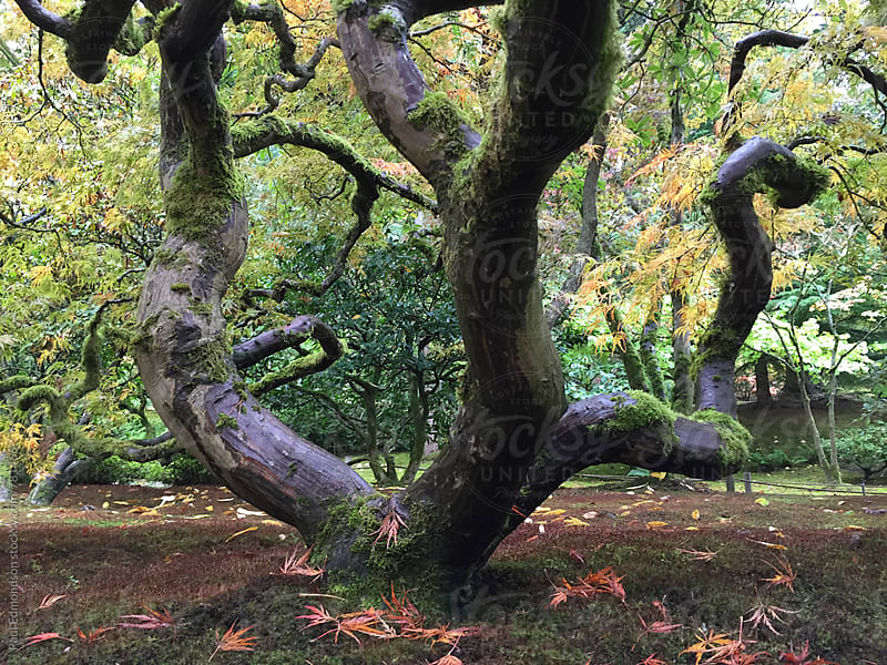 Japanese maple tree in autumn, low angle view by Paul Edmondson for Stocksy United