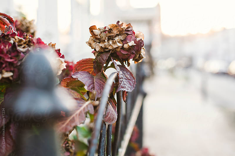A dying hydrangea bloom hangs over a city fence. by Holly Clark for Stocksy United