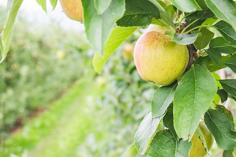 Apple Farm in the Italian Alps by Giorgio Magini for Stocksy United