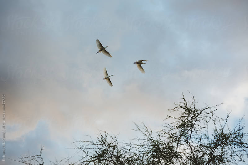 Cattle egrets flying at sunset by Rob and Julia Campbell for Stocksy United