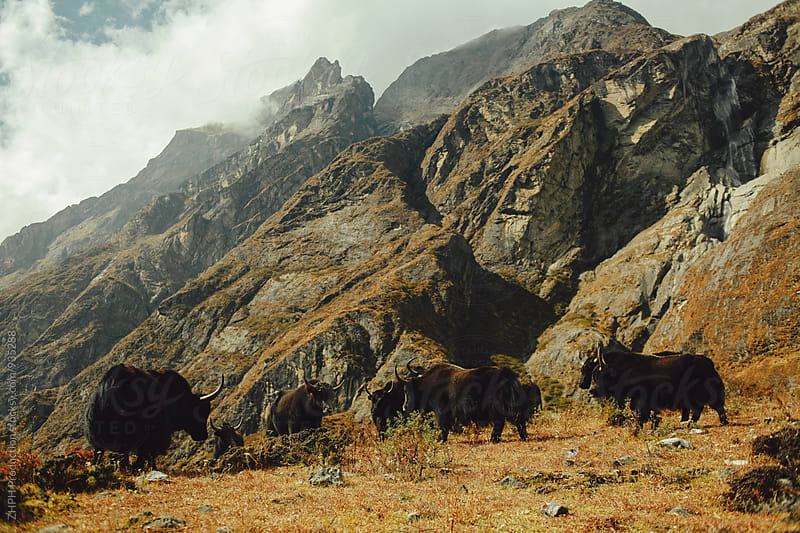Yaks pasture by Artem Zhushman for Stocksy United