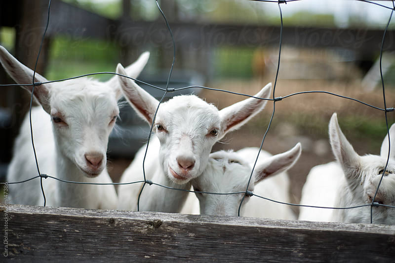 Row of young goats look through fence on a farm by Cara Slifka for Stocksy United