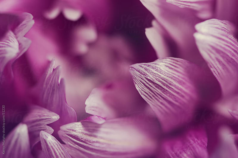 Macro of striped pink flower petals by Kerry Murphy for Stocksy United