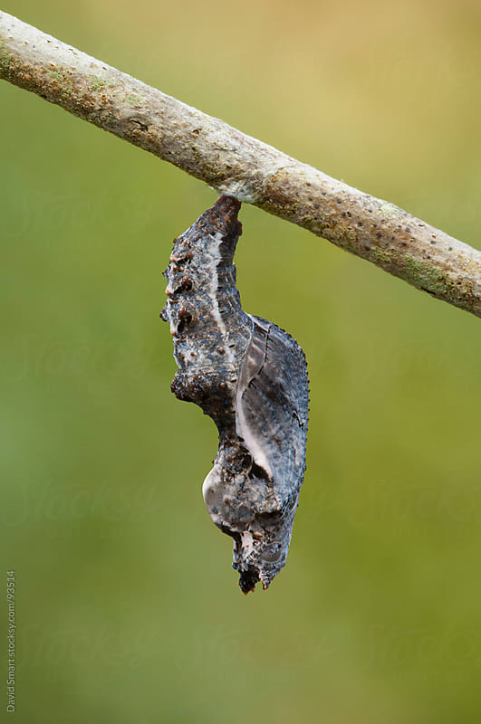 Gulf Fritillary butterfly chrysalis by David Smart for Stocksy United