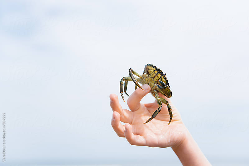 Child shows green crab he caught at the beach by Cara Slifka for Stocksy United