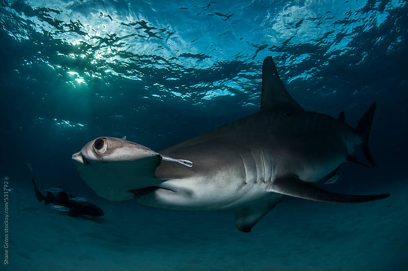 Hammerhead Close-Up by Shane Gross for Stocksy United