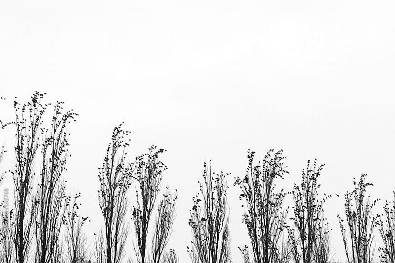 Starlings gathering in poplar trees by Marcel for Stocksy United
