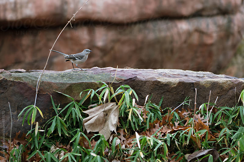 Mockingbird Perched On A Boulder with Greenery in Foreground by Leigh Love for Stocksy United