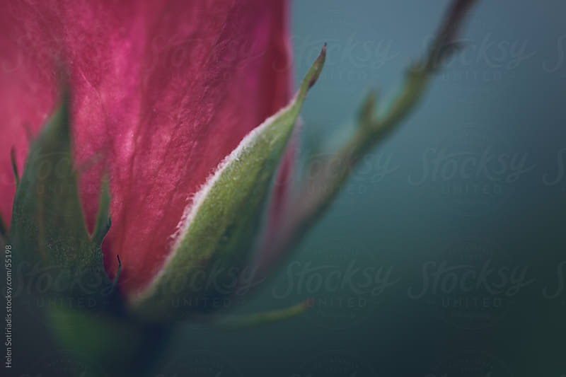 A Closeup of a Red Rosebud by Helen Sotiriadis for Stocksy United