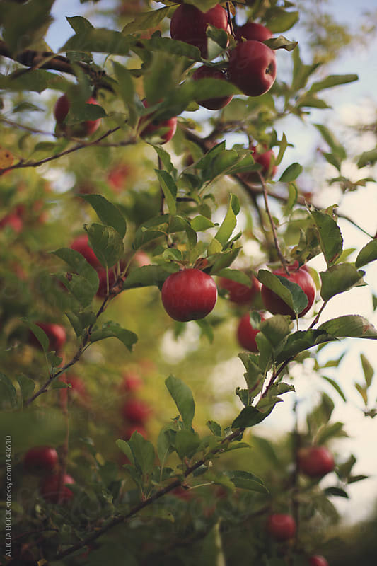 Red Apple Trees by ALICIA BOCK for Stocksy United