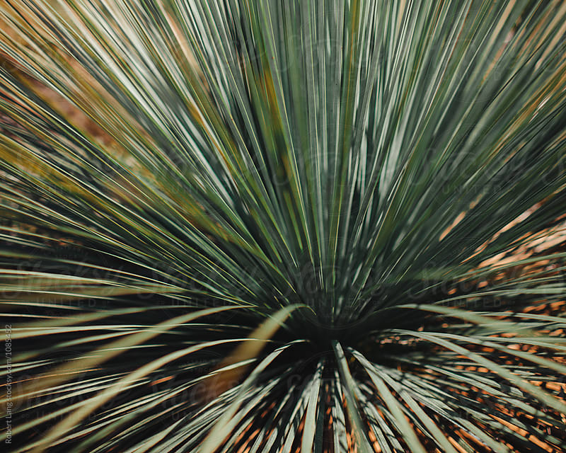 Spinifex grass, Australia by Robert Lang for Stocksy United