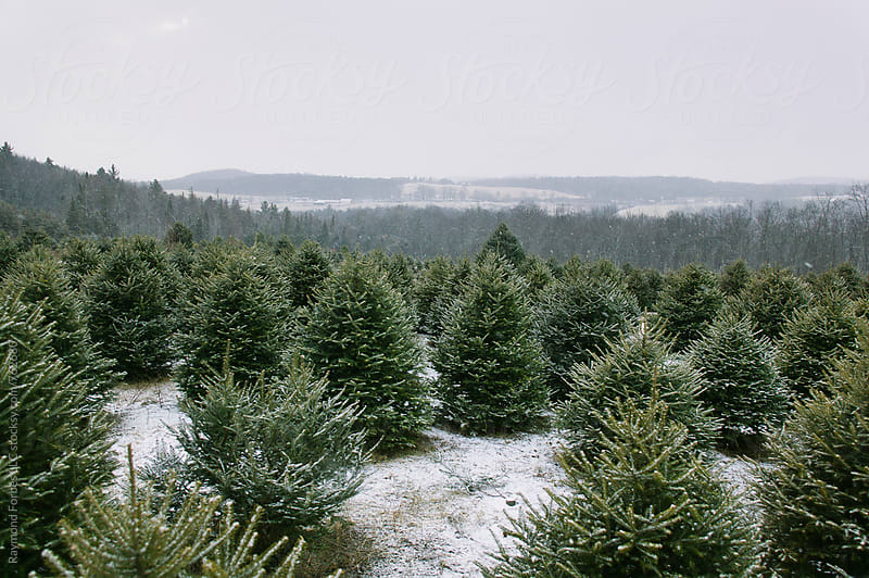 Christmas Tree Farm in Winter Landscape by Raymond Forbes LLC for Stocksy United