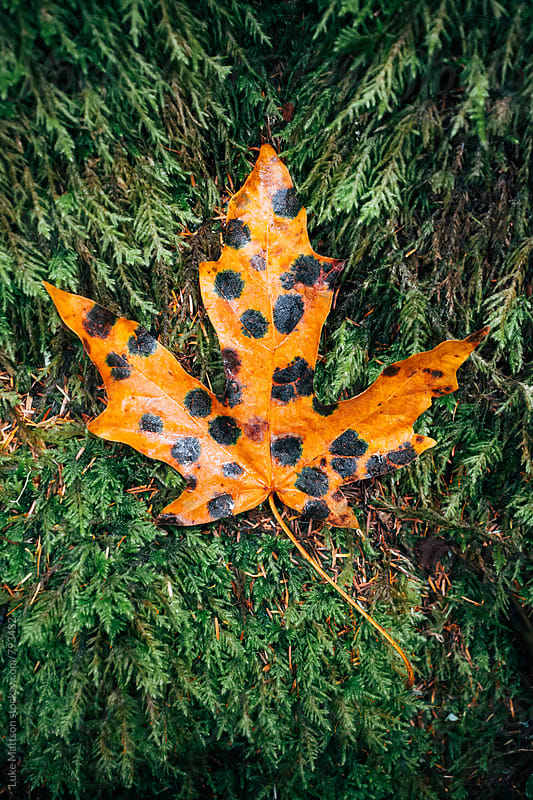 Spotted Orange Maple Leaf Resembling Leopard Print by Luke Mattson for Stocksy United