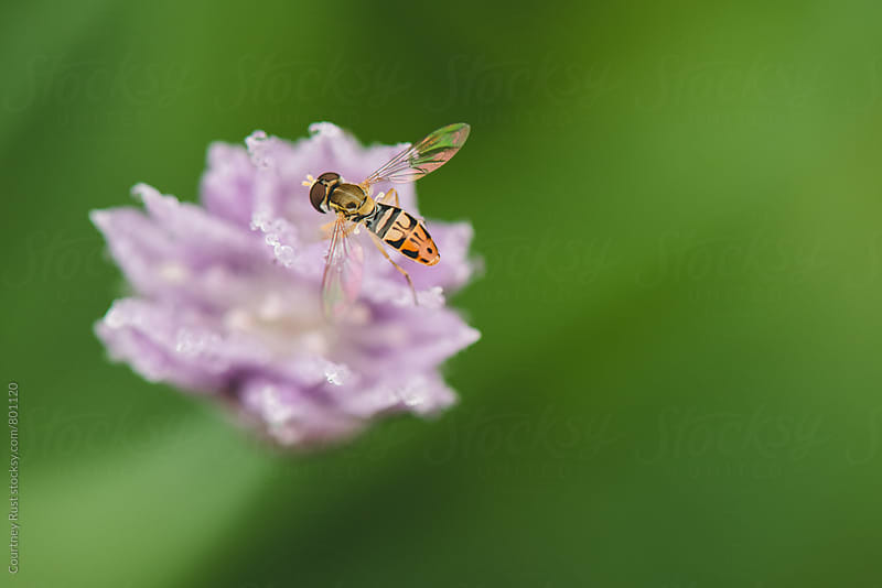 fly on a purple clove by Courtney Rust for Stocksy United