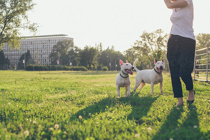 Woman having fun with two bull terriers in park by Jovo Jovanovic for Stocksy United