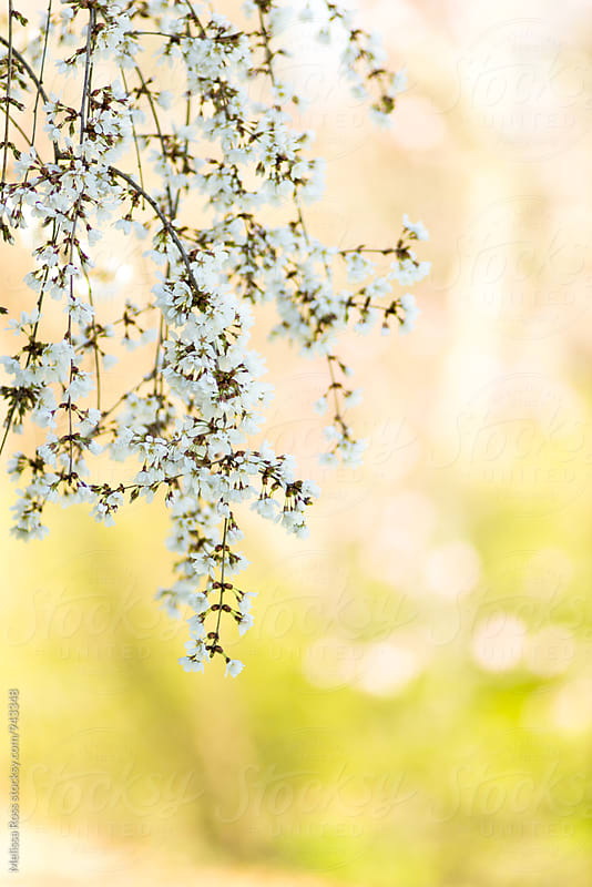Weeping cherry blossoms. by Melissa Ross for Stocksy United