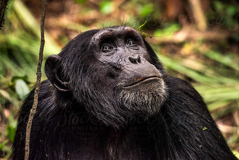 Chimpanzees in the wild, Uganda, Africa by Jaydene Chapman for Stocksy United