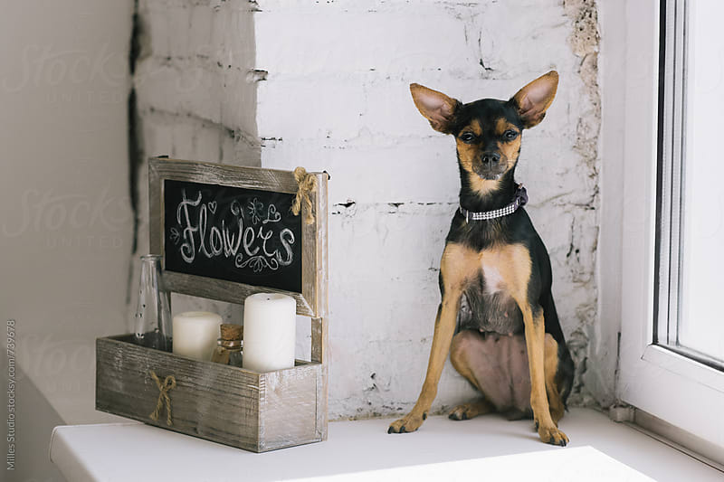 Miniature Pinscher on windowsill by Milles Studio for Stocksy United