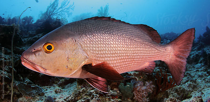 Red snapper underwater by Nat sumanatemeya for Stocksy United