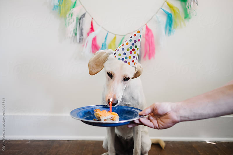 A white dog celebrating their birthday eating pie by Kristine Weilert for Stocksy United