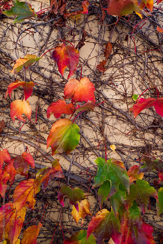 Vine with autumns colors by Rowena Naylor for Stocksy United