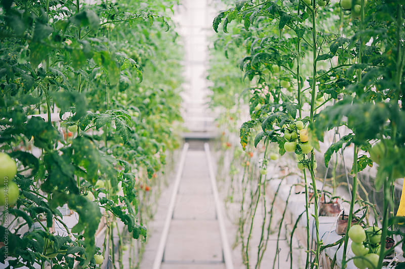 Hydroponic tomatoes. Growing tomatoes in a greenhouse by Adrian Cotiga for Stocksy United
